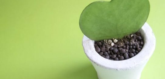 鉢に入ったハート型の植物